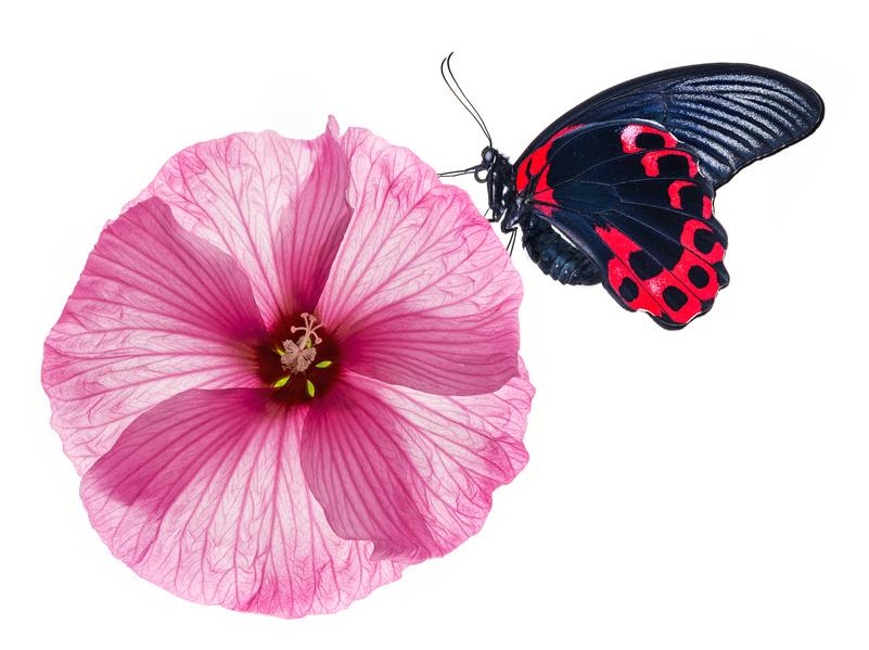 vlinderrozebloem